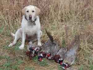 Pictures of  Hunting dogs
